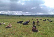 Photo of La ganadería brava como empresa